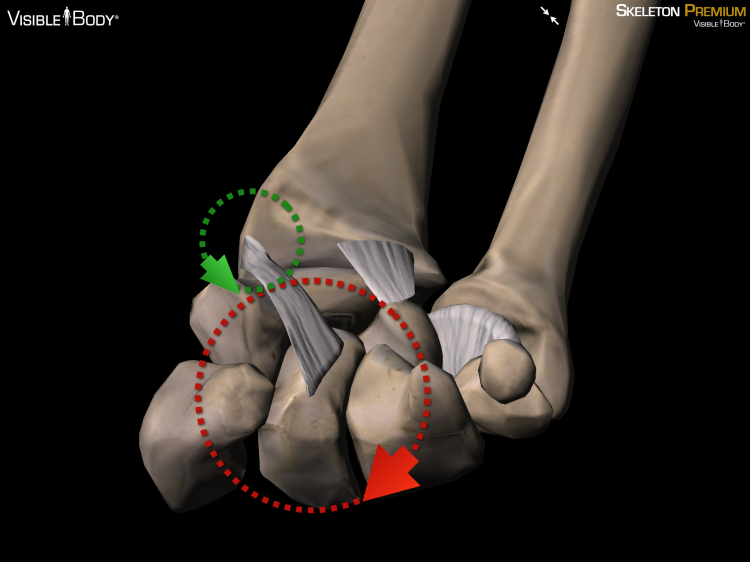 You may remember these from last time. This one's a little harder to decipher, but it's the palm of your hand with all the fingers removed demonstrating the leverage of the capitate bone over the rotation of the radius